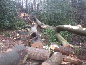 beech tree failed congleton park